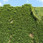 Boston Ivi, Granby street, Wall full of ivy