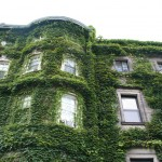 Boston Ivy on the walls, Campus of Boston University